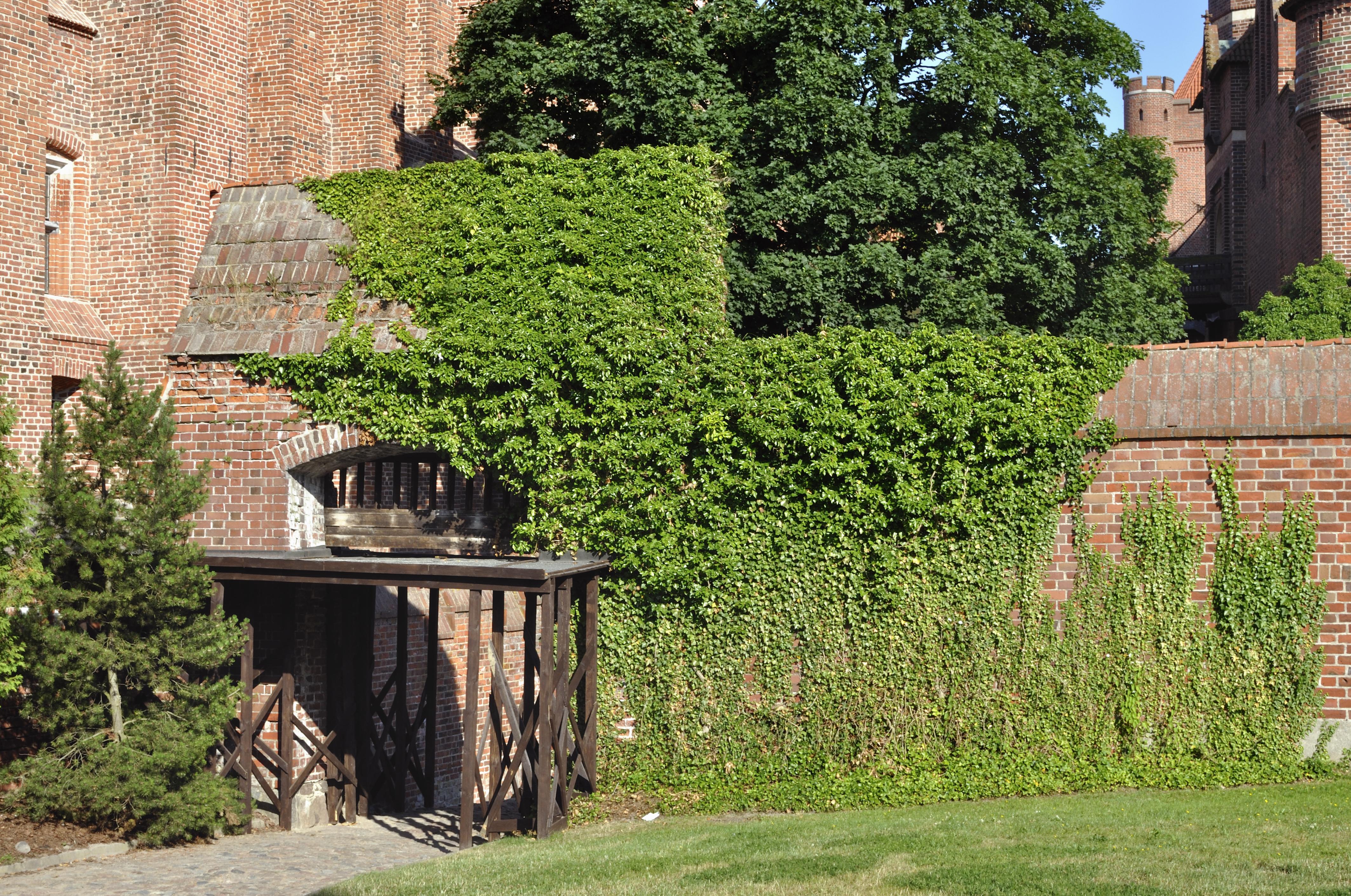 De Hedera Helix heeft een poort van Malbork Castle in Polen een groene uitstraling gegeven