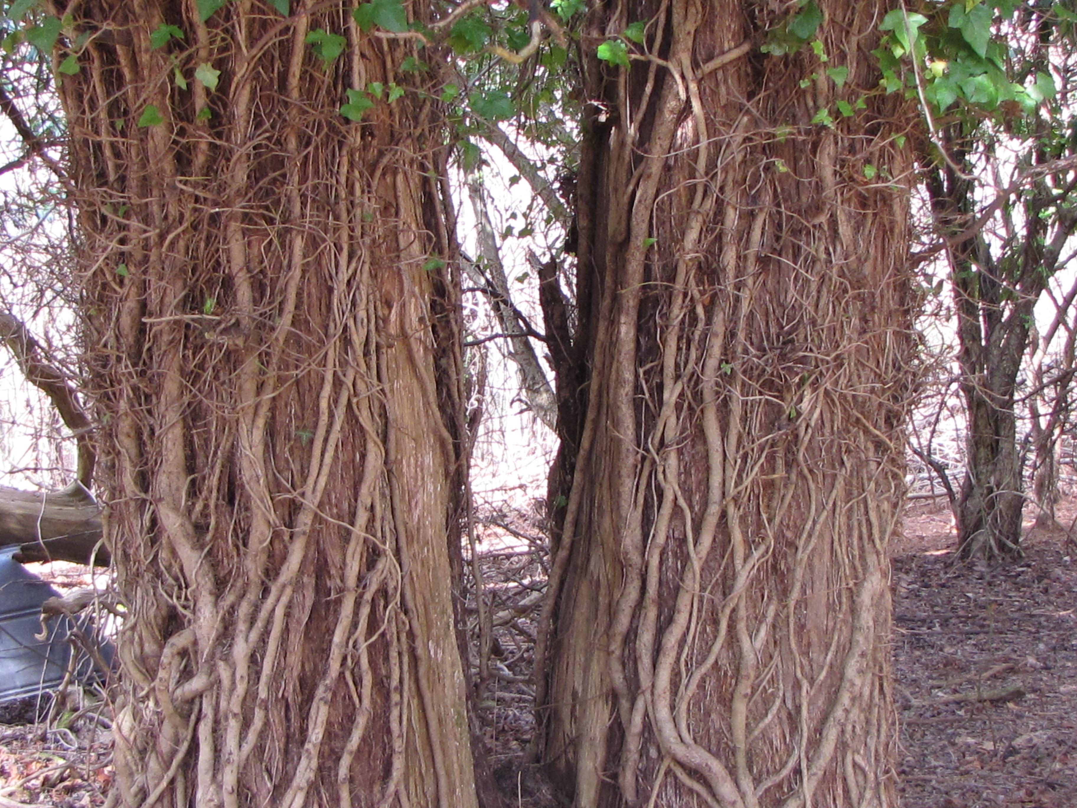 De Hedera Helix baant zichzelf omhoog een boom in