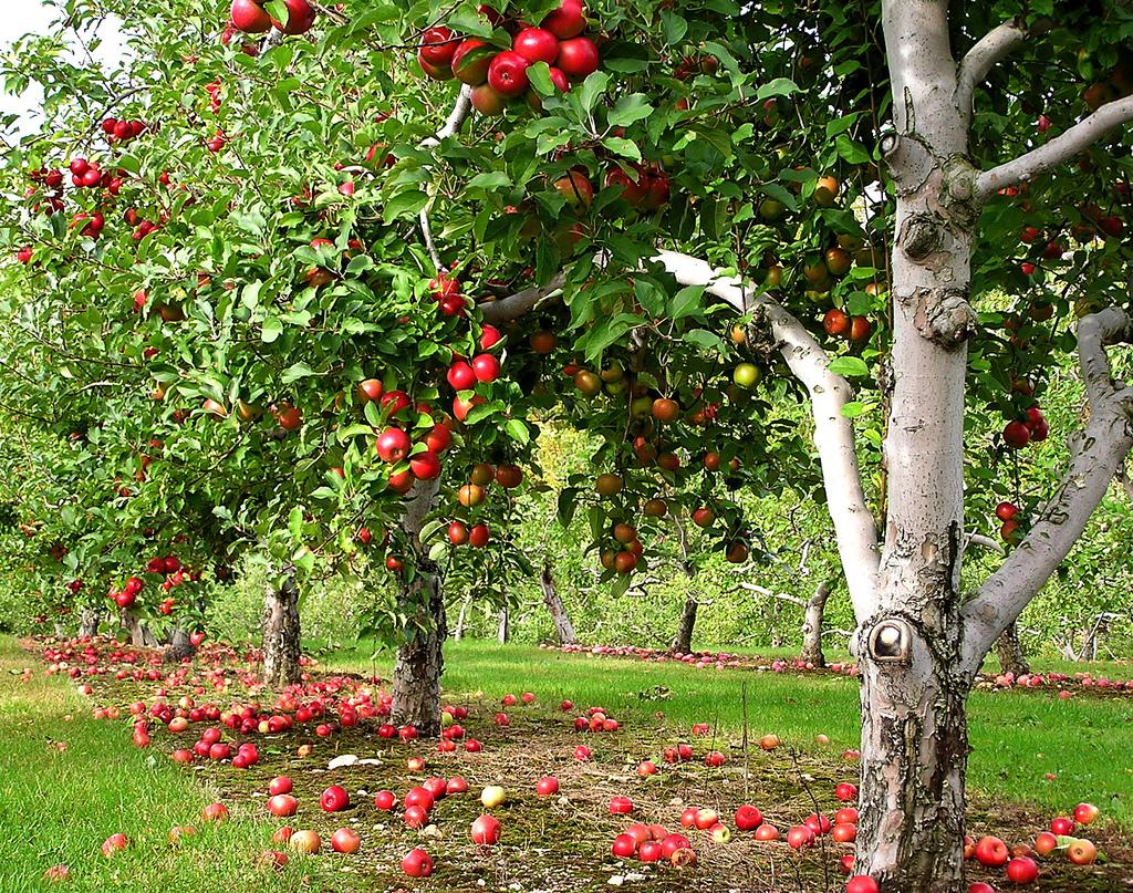 Prachtige rode appels