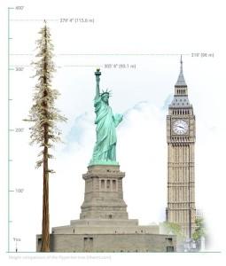 Afbeelding 3: de Hyperion in het Redwood National Park (Californië) is ruim 20 meter hoger dan het Vrijheidsbeeld in New York en ruim 15 meter hoger dan de Big Ben in  Londen.