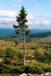 Afbeelding 1: De oudste boom ter wereld is tjikko die in Zweden staat.  Hij is 9.500 jaar oud.
