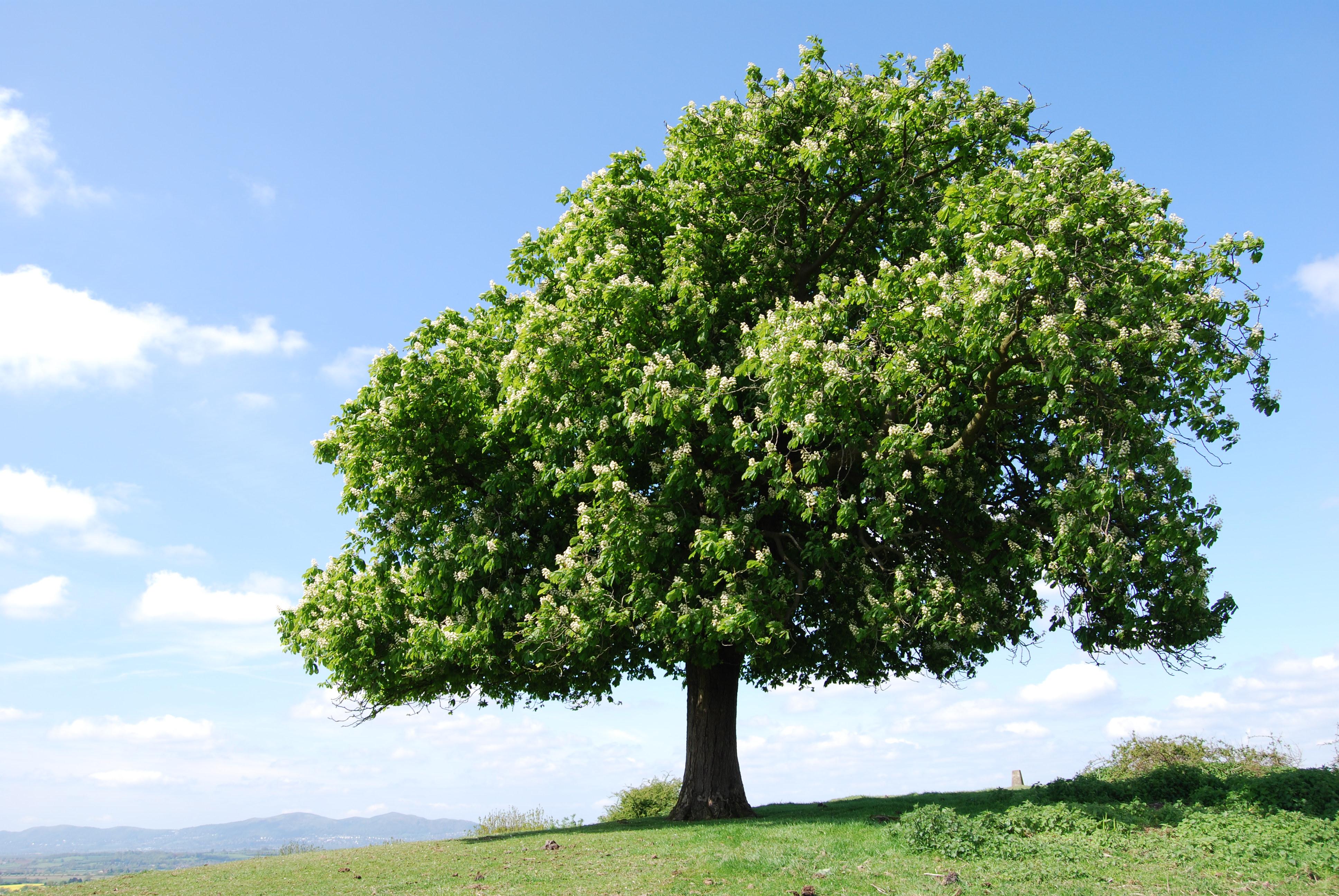 Een kastanje-boom van een afstand gezien