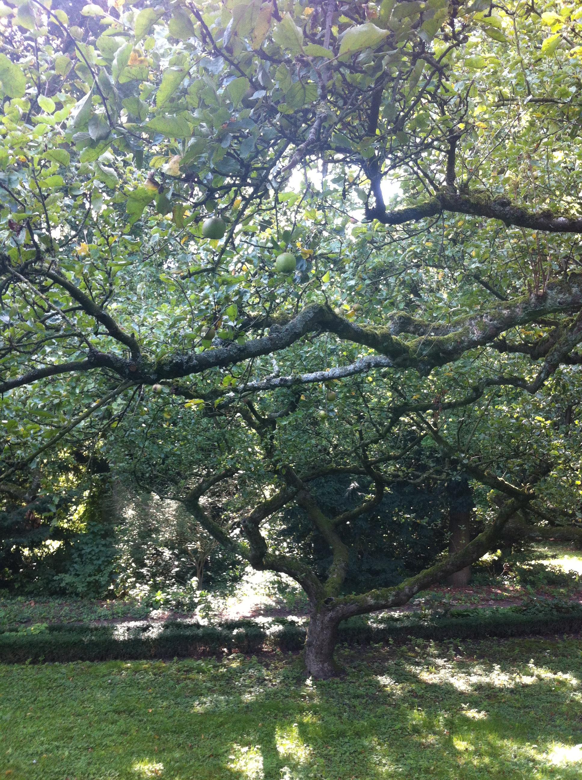 Ik heb de stam van een van de bomen uit de historische appelboomgaard van Slot Zuylen gebruikt